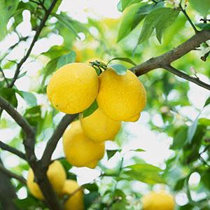 第6位:レモン